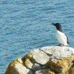 Petit pinguin