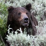 Grizzlies in Grand Tetons