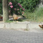 chickens wandering outside hotel