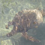 turtle that swam into hotel lagoon from ocean