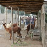 Some Alpakas and Llamas in a small zoo area