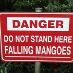 Watch Out for Falling Mangoes!