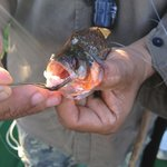 Fishing for Piranhas with our guides