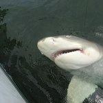 Big Lemon Shark