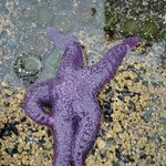 Starfish in a tidal pool