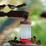 Bananaquits on feeder