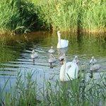 Nearby Swan family