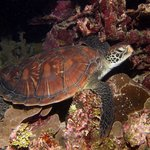 Sleepy Green Sea Turtle
