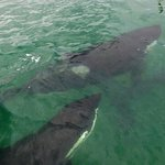 On our way in to the Vineyard via dinghy, Orca's greeted us. They were herding stingrays in to s