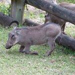Hotel pet warthogs