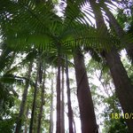 Tall trees in the rainforest