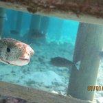 Рыба-Еж живет под водной виллой.