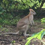 One of our many local wallabies in the garden!