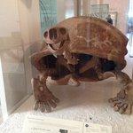 Scheletro di tartaruga gigante