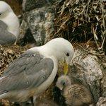 Kittikake and chick on Staple Island