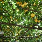 ホテル内のレモン園