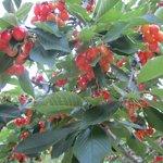 Cherry trees bursting with fruit