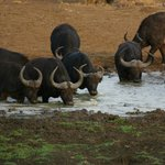 Herd of Buffalo at the water hole