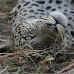 Leopard rolling about in grass