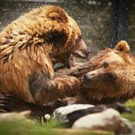 Two Grizzlies at Play