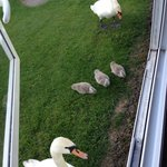 Swans outside our caravan