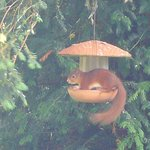 Red squirrel on the bird feeder