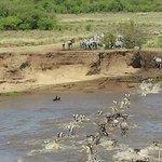 Wildebeast's and Zebra's crossing Mara River