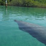 Big manatee at Tuckers Cove, Fort Pierce, FL