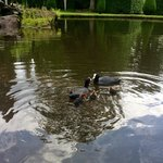 Feeding the Moorhens in the gardens.