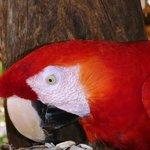 Isla San Lucas - Red Macaw