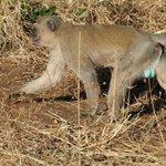 Dominantes Affenmännchen im Chobe vom Boot aus