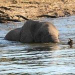 Elefant im Chobe der zu den Grasinseln schwimmt