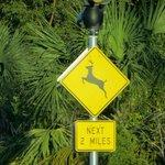 Caution - Key Deer