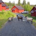 Sheep roaming by cabin