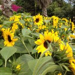 Sunflowers in the mediterranean biome