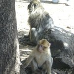 Barbary Macaque in the Cedre Gouraud