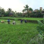 Une rizière au milieu du complexe hôtelier