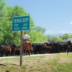 Cattle drive down Main Street