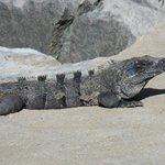 iguanas everywhere at xelha!