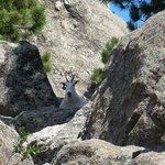 mountain goat along President's trail