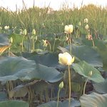 Lotus flowers in the Delta.