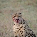 Cheetah just after a kill (Savanna)
