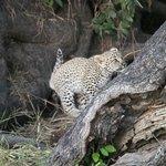 Leopard cub, Sabi Sands (Savanna)