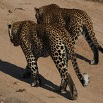Mating pair of leopards (Savanna)