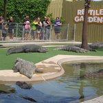 Alligators on the wait
