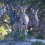 Curious Kudu