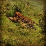 Aberdare National Park, leopard taking a warthog