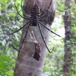 Almost walked into this tiger spider on our way to the waterfall.