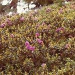 Alpenrosen im Nockgebiet -1-