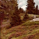 Alpenrosen im Nockgebiet -2-